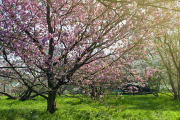 Blooming cherry blossom trees in the garden