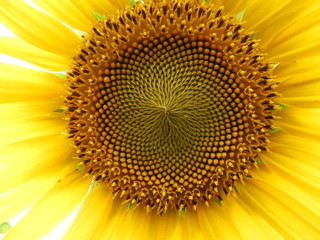 closeup of sunflower also called as Helianthus annuus