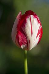 Red tulip on a dark green background - the beginning of summer