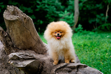 dog pomeranian spitz smiling watch the evening sun at the park's nature.