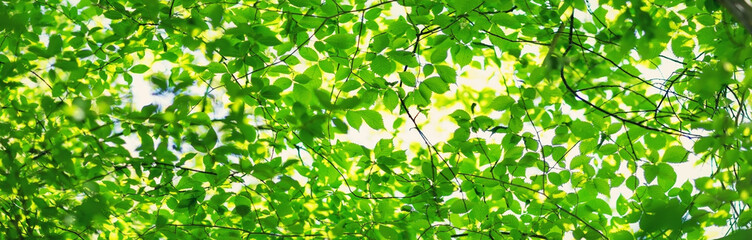 Wall Mural - New leaves on green spring background. Fresh foliage in the forest in nature with beautiful sunlight