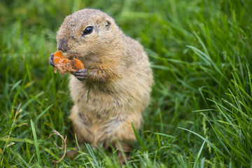 Fototapete - ground squirrel Spermophilus citellus on a meadow