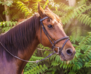 Sorrel horse. Side view head shot of a bay stallion. Portrait of a thoroughbred bridled horse, blur green trees background, selective focus. Equestrian sport.