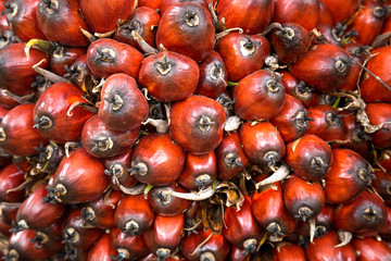 The color of Oil palm fruit.