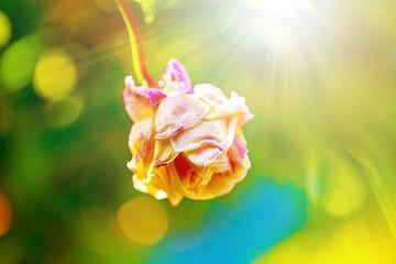 ピンクの少ししおれたバラと光線 老化イメージ