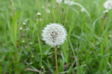 fresh dandelion in spring, pictures of herbs dandelion grass,