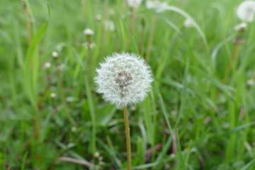 fresh dandelion in spring, pictures of herbs dandelion grass,