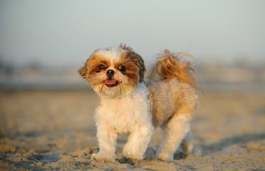 Shih Tzu dog walking on sand beach
