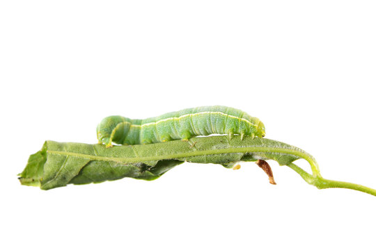 Green caterpillar of Orthosia incerta on leaf isolated on white background