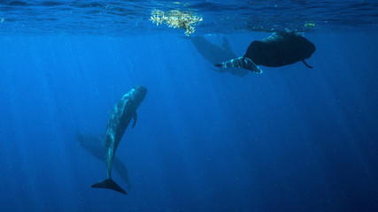 Pod of Pilot Whales in Dominica, Caribbean Island Nation