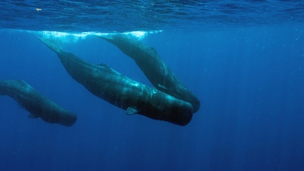 Swimming with Sperm Whales in Dominica, and Island Nation in Caribbean