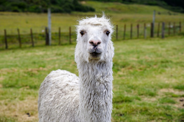 Front face of alpaca at farm.