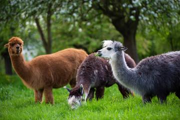 Alpacas while eating grass, South American mammals