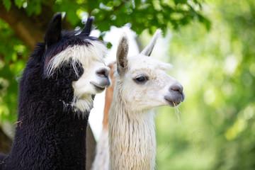 Portrait of two Alpacas, a South American mammal