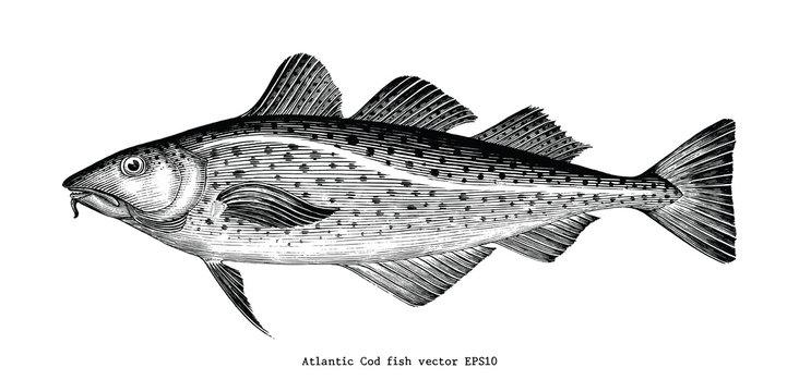 Atlantic Cod fish hand drawing vintage engraving illustration