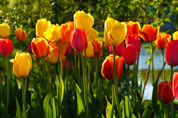 Beautiful bouquet of colorful tulips. Flowers in spring at the garden.