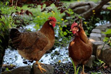 Brown chicken next to the farm pond
