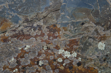 Lichen (Physcia tribacia) (white) on a rock. Monfrague National Park. Caceres. Extremadura. Spain.