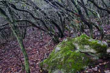Forest of strawberry tree (Arbutus unedo). Monfrague National Park. Caceres. Extremadura. Spain.
