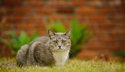Grey Cat lying down in green grass with brick in the backgroun