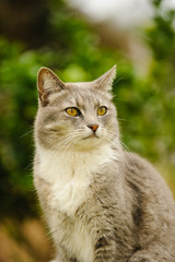 Grey and white cat sitting outdoors