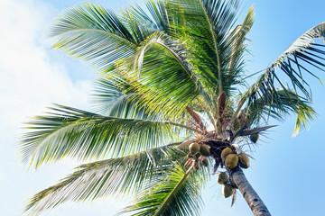 Cocotier et noix de coco en Guadeloupe