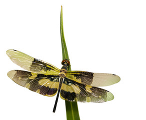 Image of a Variegated Flutterer Dragonfly (Rhyothemis variegata) on white background. Insect Animal.