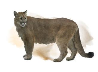 Fotobehang Puma Florida panther or cougar watercolor