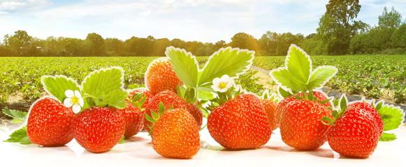 Erdbeerfeld mit Erdbeeren - Panorama