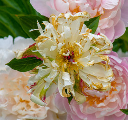 Still life fine art color outdoor flower image of fading pink white peony blossoms on natural green background