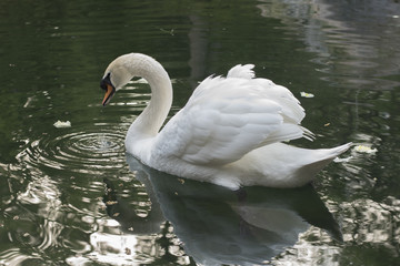 swan on the lake with reflection