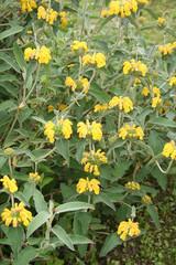 Yellow flowers of Jerusalem sage. Phlomis fruticosa wild plant.