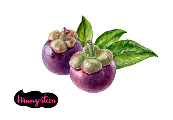mangosteen watercolor illustration