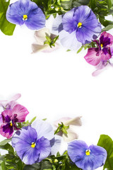 Beautiful pastel coloured pansies background on white