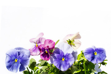 Poster Pansies Beautiful pastel coloured pansies background on white