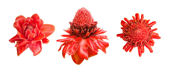 Red ginger lily flower (Etlingera elatior) tropical plant set isolated on white background, clipping path included