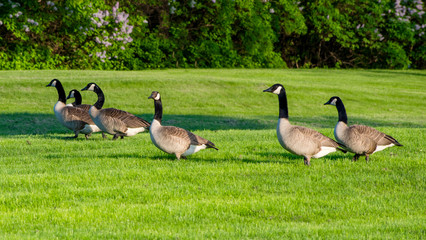 A team of geese are having good time on grass in spring