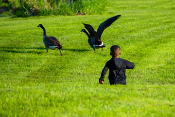 A young boy is playing with geese on grass in spring time