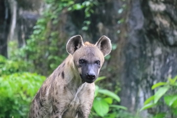 Spotted hyenas may kill as many as 95% of the animals they eat, while striped hyenas are largely scavengers.