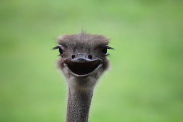 The ostrich is the tallest and the heaviest of all birds. While the huge ostrich is a bird, it does not fly. Instead it runs.