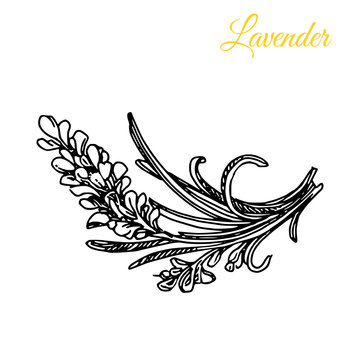 Aroma flowers. Lavender. Engraving style. Vector ilustration.