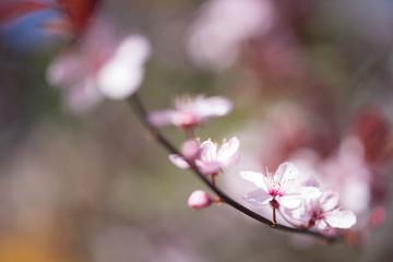 Poster Magnolia Cherry blossoms