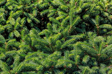 tree, green, nature, plant, branch, pine, fir, forest, evergreen, spruce, christmas, needle, texture, needles, coniferous, fern, leaf, wood, grass, season, branches, summer, fresh, backgrounds, flora Wall mural