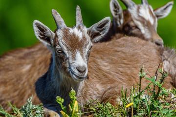 goats graze on the grass
