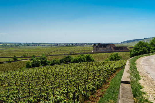 F, Burgund, Departement Côte d'Or, Vougeot, ökologische Arbeit in den Weinbergen mit Pferden bei Clos de Vougeot