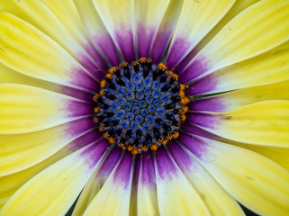 "Osteospermum ""Blue-eyed Beauty"" macro"