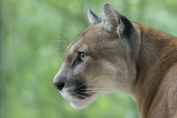 Foto auf Leinwand Puma Cougar / Mountain Lion watching prey