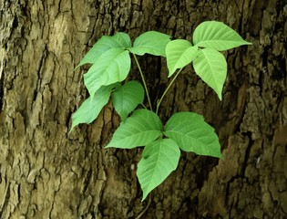 Characteristic triple leaflets of a poison ivy vine on a sycamore tree trunk.