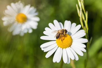 White marguerite and European honey bee. Leucanthemum vulgare. Apis mellifera. Beautiful honeybee close-up when pollinating the sunlit ox-eye daisy. Grass in a spring green background.