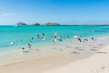 Flock of birds in Francisqui island, in Los Roques archipelago, Venezuela
